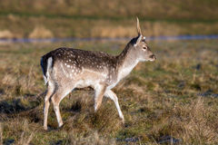 Young Fallow Deer. A young buck or `pricket` on a sunny winters day Stock Images