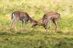 Fallow Deer Bucks - Dama dama, Warwickshire, England. Young Fallow Deer Bucks, Dama dama sparring during the rutting season royalty free stock photos