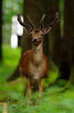 Young Fallow Deer (Dama dama). The Fallow deer have white spots on their backs stock photos