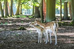 Young fallow deer Stock Photos