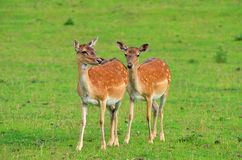 Young of fallow deer Stock Photo