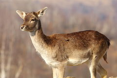 Young fallow deer doe Stock Photos