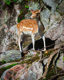 Young Fallow Deer Fawn Standing on Rocks. A small, young fallow deer fawn stands looking on a stone rock face Royalty Free Stock Photo