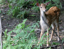 Young Fallow deer - female. Animal in nature - young female fallow deer Stock Photo