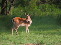 Young Fallow Deer. Fallow deer on a forest meadow Stock Photos