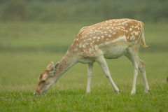 Young Fallow deer grazing on grass Royalty Free Stock Images