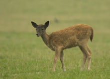 Young Fallow deer grazing on grass Stock Photo