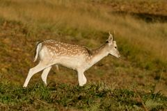 Young Fallow deer grazing on grass Stock Images