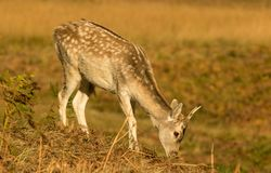 Young Fallow deer grazing on grass stock image