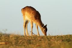 Young fallow deer grazing Royalty Free Stock Photo