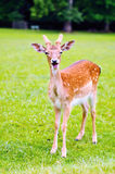 Young fallow deer royalty free stock image