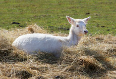 Young Fallow Deer in Hay Stock Image