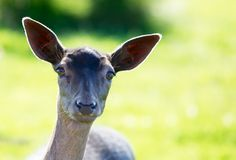 Young Fallow Deer Head backlit. Head of young fallow deer looking straight into camera Stock Image