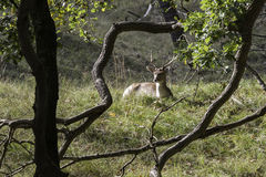 Young fallow deer in Holland Royalty Free Stock Photography