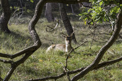 Young fallow deer in Holland Stock Photo