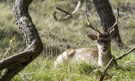 Young fallow deer in Holland Royalty Free Stock Image