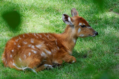 Young fallow deer Stock Images