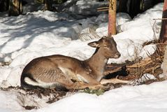 Young fallow deer male. Without antlers having rest in the forest in winter royalty free stock images