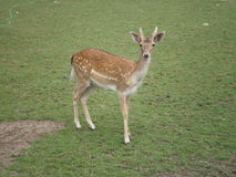 Young fallow deer male Stock Images
