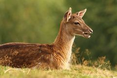 Young fallow deer on a meadow Royalty Free Stock Photo