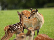 Young Fallow Deer and mother Royalty Free Stock Images