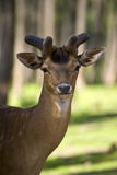 Young fallow deer portrait Stock Images