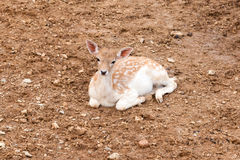 Young fallow deer Royalty Free Stock Images