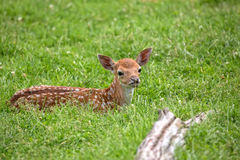 Young Fallow deer resting in a clearing Stock Images