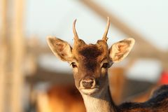 Young fallow deer stag close up Stock Photos