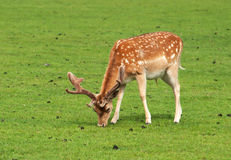 Young fallow deer, stag, nibbling grass Stock Photos