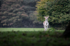 Young fallow deer stag. A pricket, young  male fallow deer isolated and alone in a woodland setting staring forward at the viewer and to the left of the image Stock Photos