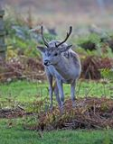 Fallow Deer. Young Fallow Deer stag Silhouette at dawn royalty free stock photo