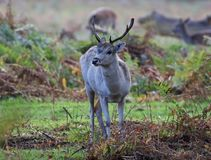 Fallow Deer. Young Fallow Deer stag Silhouette at dawn royalty free stock images