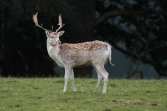 Young fallow deer stag. A young fallow deer stag standing on grass with a dark forest in the background sideways profile angle and looking slightly back royalty free stock photos