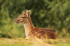 Young fallow deer standing in the grass Royalty Free Stock Photography