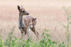 A young fallow deer. Standing in a meadow in the summer royalty free stock images