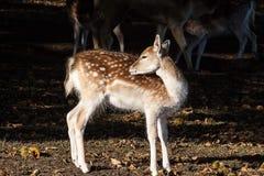 Young Fallow deer Stock Photography