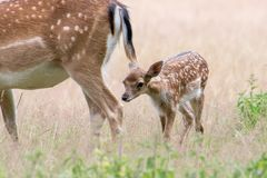 Young fallow deer walking behind mother. A picture of a young fallow deer walking behind its mother in a meadow during summer. The grass has turned yellow stock image