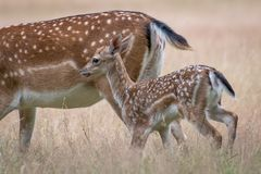 Young fallow deer walking with mother. A picture of a young fallow deer walking behind its mother in a meadow during summer. The grass has turned yellow, because stock photos
