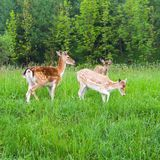 Young fallow deers Stock Photo