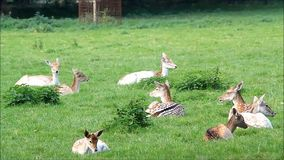 Young fallow deers stock video footage