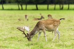 Young fallow deers. On a meadow royalty free stock photos
