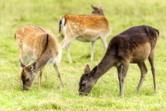 Young fallow deers. On a meadow stock photo