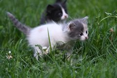 Young family cats. Young small cats playing in the grass Stock Photography