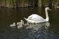 Young family swan Royalty Free Stock Photos
