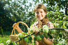 Young farm girl picking apple. Beautiful young farm girl picking apples from the apple tree Stock Photo