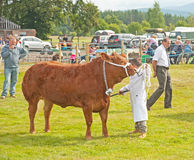 Young farmer with bull. Young farmer at Grantown on Spey Show leading bull with halter on 8th August 2013 Royalty Free Stock Images
