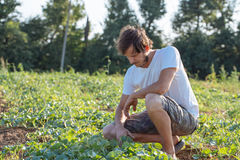 Young farmer checking his watermelon field at organic eco farm. Farmer sitting on the field and inspecting plants Stock Photography