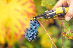 Young farmer collecting ripe grapes on autumn harvest from valley winery Royalty Free Stock Photos
