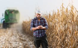 Young farmer examine corn in corn field during harvest Stock Photography